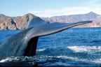 Blue whale near Loreto