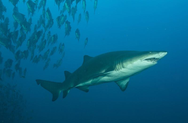 Sand Tiger Sharks  Sand Tiger Shar...